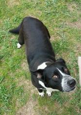 Borador Dog For Adoption in Denton, TX, USA