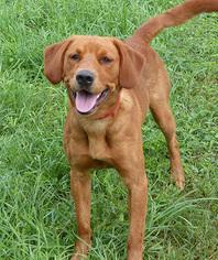 Puppyfinder Com Golden Irish Puppies For Sale And Golden Irish Dogs