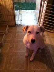 Australian Shepherd Dog For Adoption in Tonopah, AZ