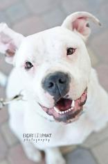 Boxer-Staffordshire Bull Terrier Mix Dog For Adoption in Oceanside, CA, USA