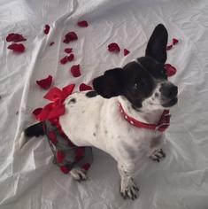 Chiweenie Dog For Adoption in Rancho Santa Margarita, CA, USA