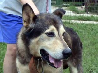 German Shepherd Dog Mix Dog For Adoption in Tyler, TX, USA