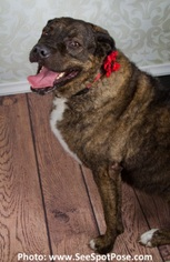 Rhodesian Ridgeback Mix Dog For Adoption in Ventura, CA, USA