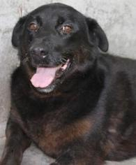 Labrador Retriever Mix Dog For Adoption in Savannah, MO