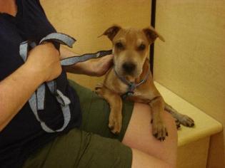 Chinese Shar-Pei Mix Dog For Adoption in Tonopah, AZ, USA