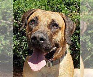 Presa Canario Dogs for adoption in Albuquerque, NM, USA