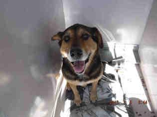 View Ad: Anatolian Shepherd-Rottweiler Mix Dog for Adoption