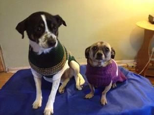 Chihuahua Mix Dog For Adoption in Ponca City, OK, USA