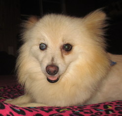 Pomeranian Dog For Adoption in Waldron, AR, USA