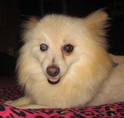 Pomeranian Dog For Adoption in Waldron, AR