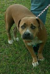 American Staffordshire Terrier Mix Dog For Adoption in Fort Myers, FL, USA