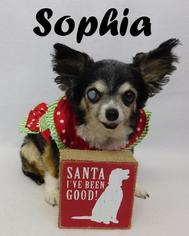 Chihuahua Dog For Adoption in Arcadia, FL, USA