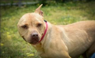 American Pit Bull Terrier-American Staffordshire Terrier Mix Dogs for adoption in Christiana, TN, USA