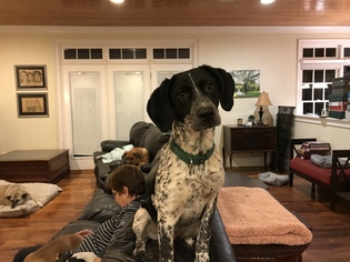 View Ad Bluetick Coonhound German Shorthaired Pointer Mix Dog For