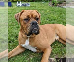 Boxer Dogs for adoption in Woodinville, WA, USA