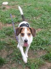 Beagle-Unknown Mix Dogs for adoption in Ashland, VA, USA