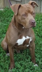 American Pit Bull Terrier Mix Dog For Adoption in Mt Vernon, IN, USA