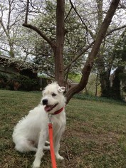 Parson Russell Terrier Mix Dog For Adoption in Dallas, TX, USA