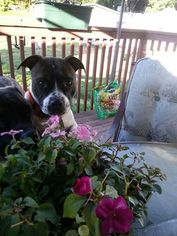 American Staffordshire Terrier-Jack Russell Terrier Mix Dog For Adoption in Whitestone, NY