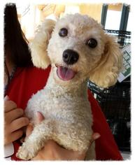 Bichon Frise Dog For Adoption in Porter Ranch, CA, USA