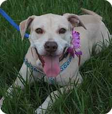 Labrador Retriever Mix Dog For Adoption in Tampa, FL