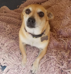 Chihuahua Mix Dog For Adoption in Encino, CA, USA