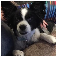 Papillon Mix Dog For Adoption in Holly Springs, NC, USA