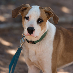 Collie Dog For Adoption in Kanab, UT, USA