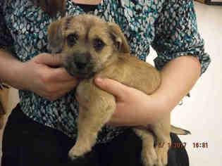 View Ad Border Terrier Shih Tzu Mix Dog For Adoption California