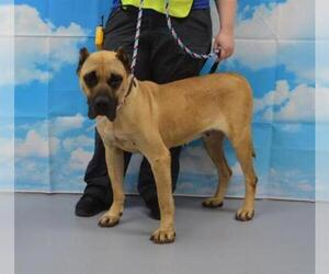 Presa Canario Dogs for adoption in Louisville, KY, USA