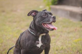 Staffordshire Bull Terrier Mix Dog For Adoption in Browns Mills, NJ, USA
