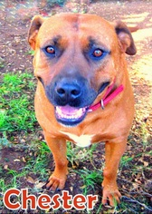 American Staffordshire Terrier Mix Dog For Adoption in Ventura, CA, USA