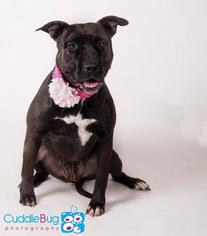 American Pit Bull Terrier-Staffordshire Bull Terrier Mix Dog For Adoption in Irving, TX