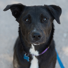 Borador Dog For Adoption in Kanab, UT, USA