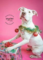 American Staffordshire Terrier-Bull Terrier Mix Dog For Adoption in White Marsh, MD
