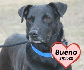 Labrador Retriever Dog For Adoption in San Antonio, TX, USA