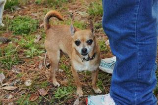 Chihuahua Mix Dog For Adoption in Evans, GA, USA