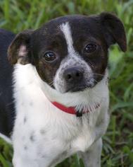 Pug Dog For Adoption in Miami, FL, USA