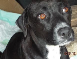 Labrador Retriever Mix Dog For Adoption in San Antonio, TX, USA