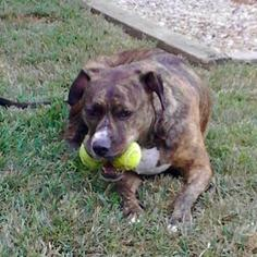 American Pit Bull Terrier Mix Dog For Adoption in Oakhurst, NJ