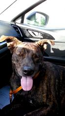 American Pit Bull Terrier-Labrador Retriever Mix Dog For Adoption in Satellite Bch, FL