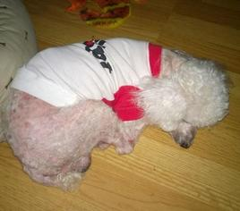 Poodle (Toy) Dog For Adoption in Cary, NC