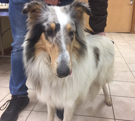 Collie Dog For Adoption in Chantilly, VA, USA