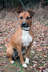 Airedale Terrier-Black Mouth Cur Mix Dog For Adoption in Paris, ME, USA