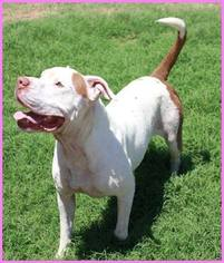 American Bulldog Mix Dog For Adoption in Chandler, AZ, USA