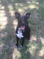 Labrador Retriever Mix Dog For Adoption in Tomball, TX, USA