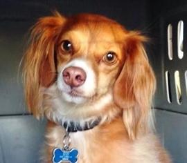 Italian Greyhound Mix Dog For Adoption in Edmond, OK, USA