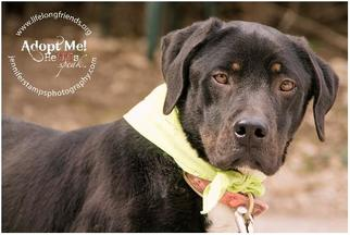 Labrador Retriever Mix Dog For Adoption in Lago Vista, TX, USA