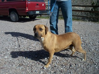Chinese Shar-Pei Dog For Adoption in Golden Valley, AZ, USA