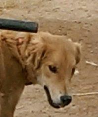Golden Retriever-Italian Greyhound Mix Dog For Adoption in Tonopah, AZ, USA
